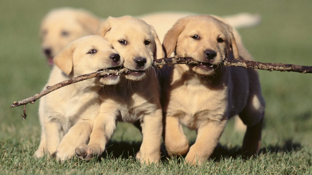 picture of three puppies holding stick