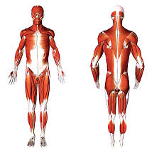 Frontal and supine view of the human body's muscles