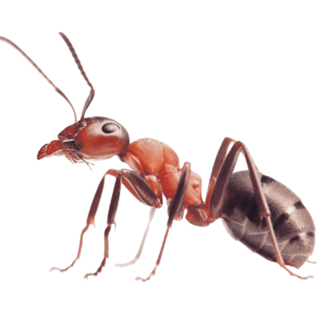 Large picture of ant