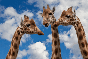 Giraffes talking to one another.