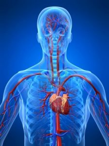 The heart and vessels in a transparent human being