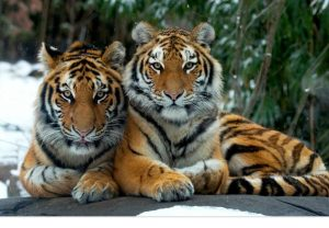 An image of two tigers.