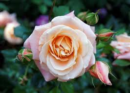 A picture of one rose.
