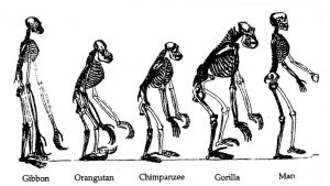 An image of a theory of how humans evolved.
