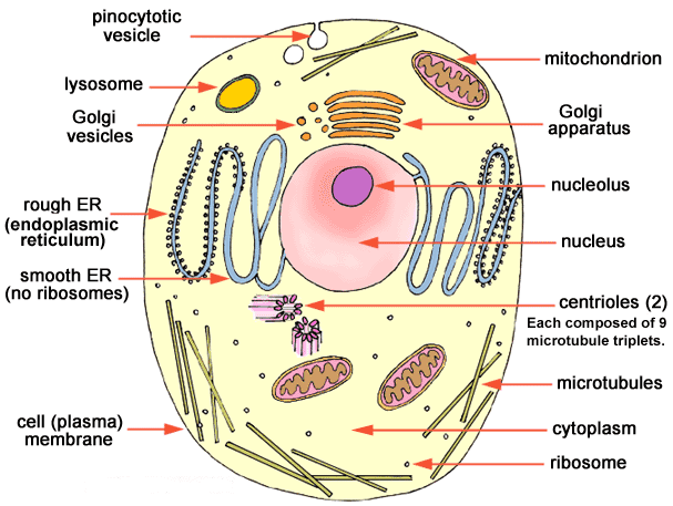 A diagram of a cell.