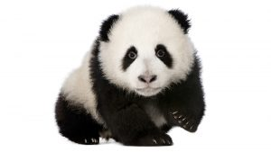 An image of a panda.