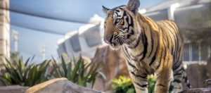 The live Mike the tiger for LSU.