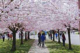 Students walk underneath a pathway of cherry blossom trees.