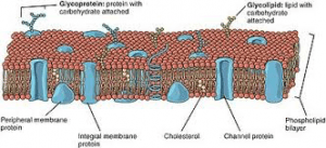 Diagram of a membrane, one of the 3ms.