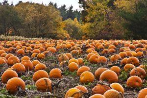 a patch full of pumpkins