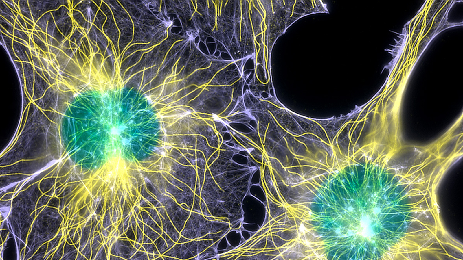 Cell Biology - Actin, microtubules, and nuclei