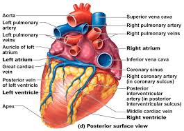 A well labeled human heart