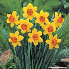 a picture of daffodils