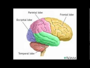 the different areas of the brain