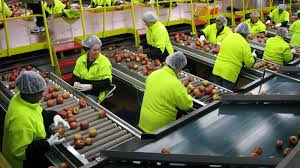 People with green shirts and security hats in a production line selecting fresh red apples