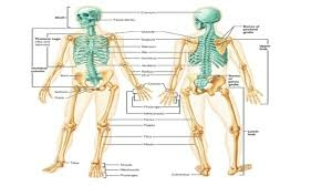 A well labeled diagram of the human skeleton