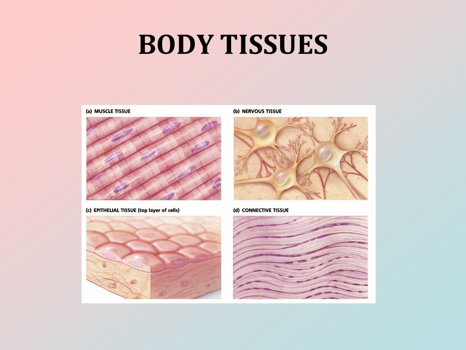 a chart of the four different types of tissues