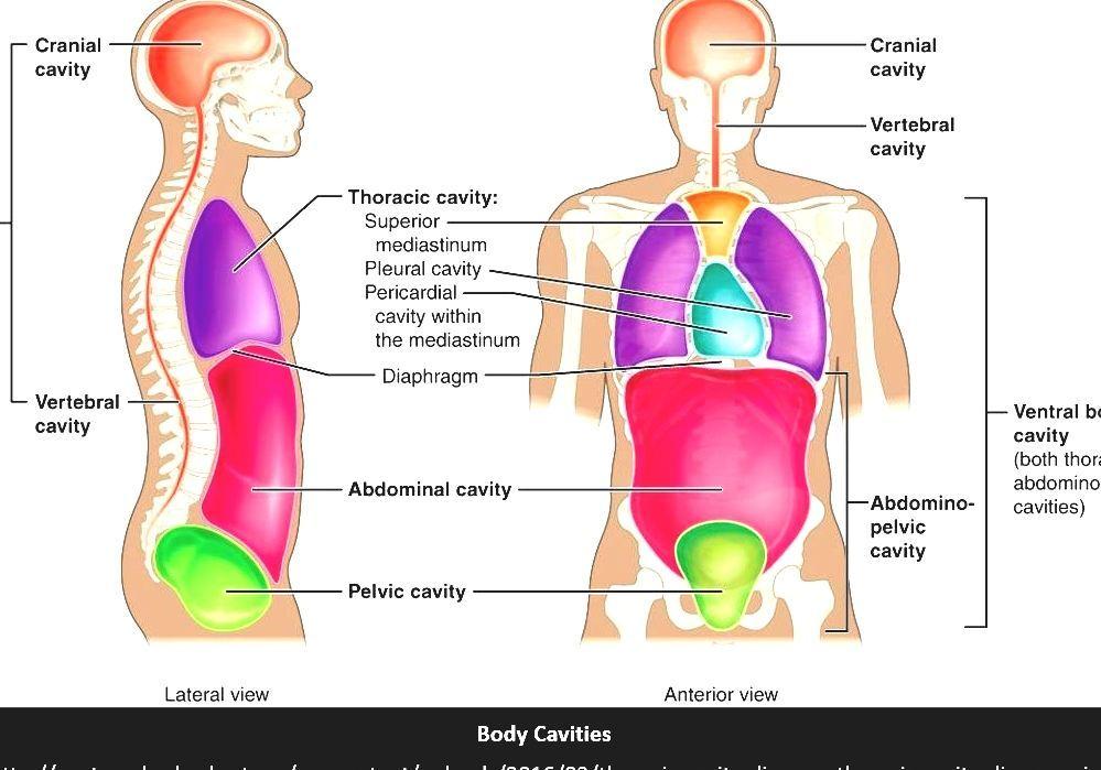 Cavities Of The Human Body