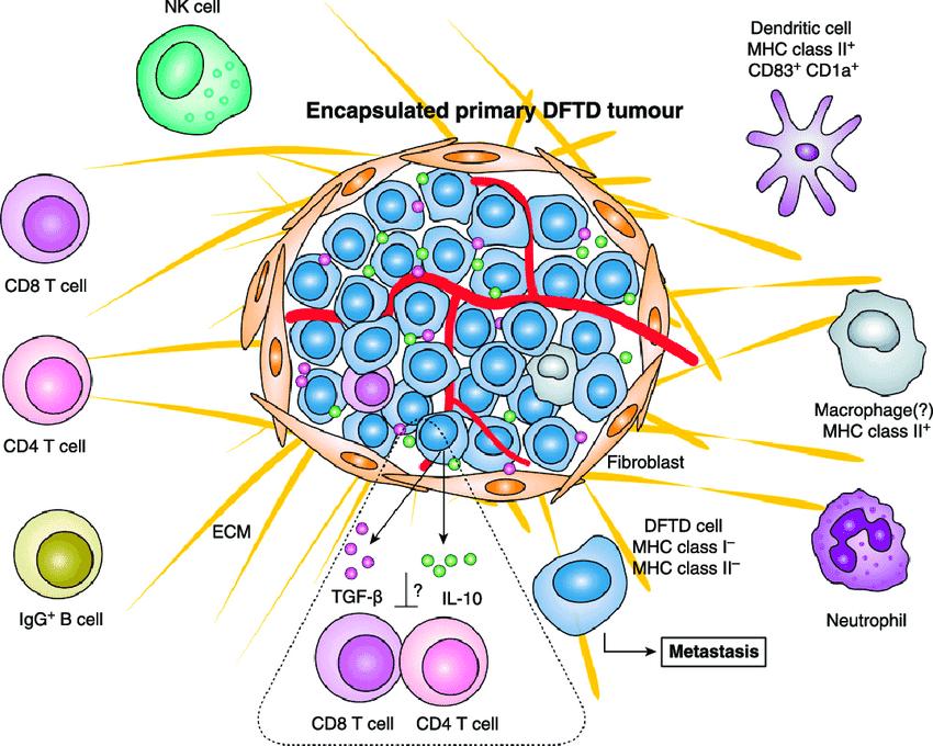Immunology model for Devil facial tumor disease