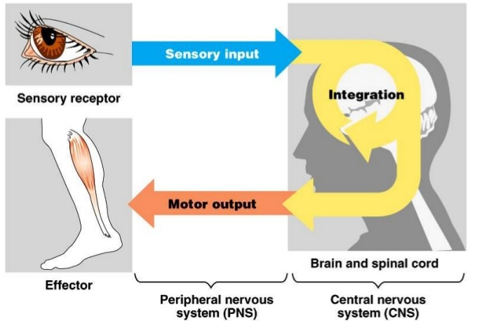 The illustration of brain function in neurobiology