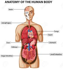 The above image shows some of the different organs in the human body with labels