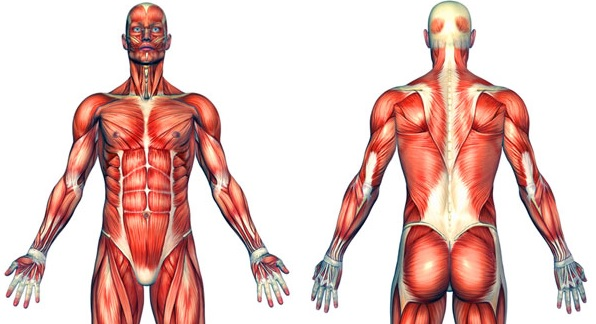 Anatomical picture of body muscles