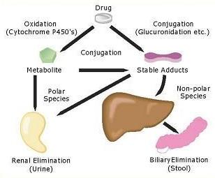 A simple illustration of Drug Metabolism in Pharmacokinetics