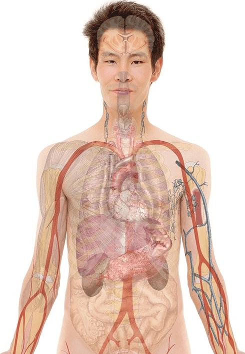 anatomy of a man showing internal organs and veins