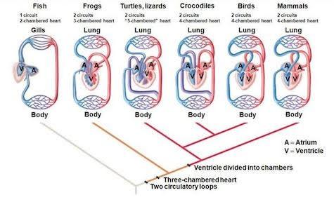 Comparative anatomy of vertebrate heart