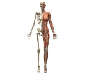 human with half skeleton, half muscles