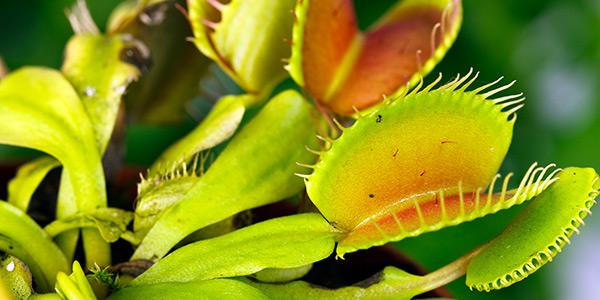 a Venus flytrap