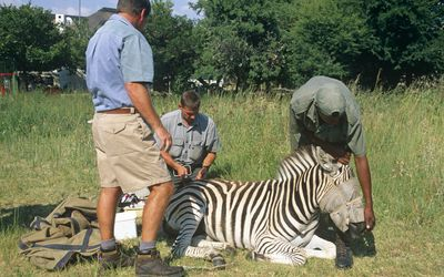wildlife biologists examining a zebra