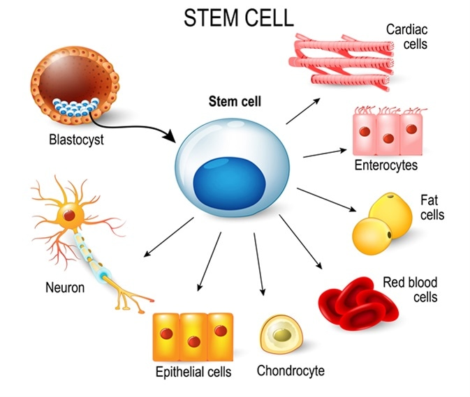 The professor explains stem-cell differentiation.