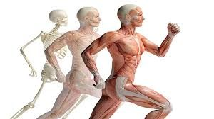 skeleton running with muscles shown in another figure running