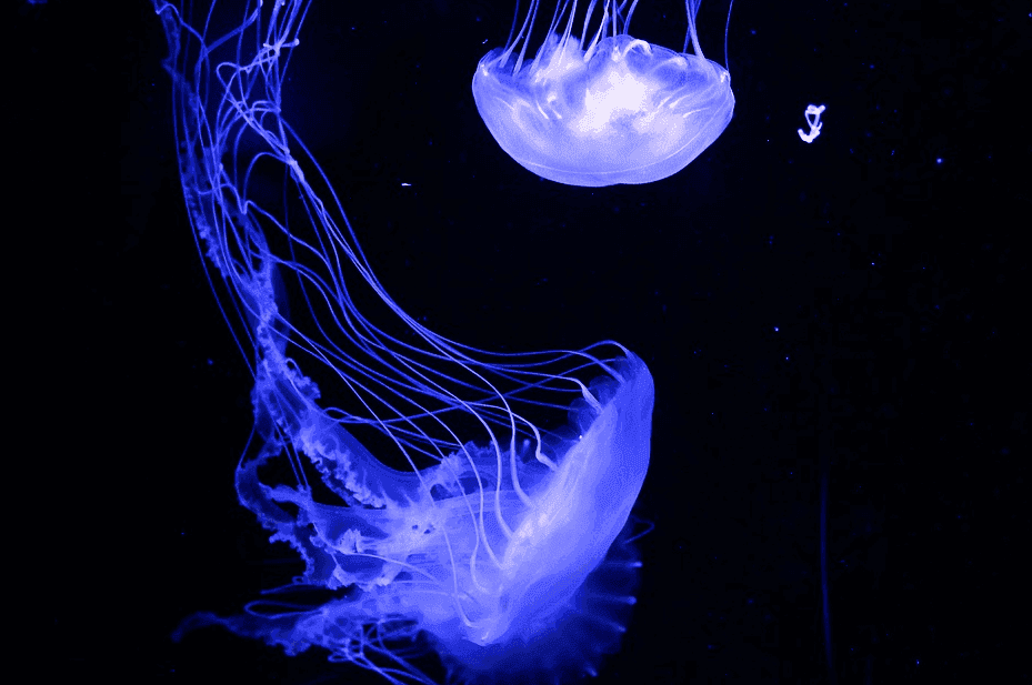 photo of 2 glowing jelly fish