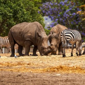 Rhinoceros and zebras walking in the wild in the Ramat Gan Safari. The Zoological Center Tel Aviv-Ramat Gan is the largest collection of wildlife in human care in the Middle East.