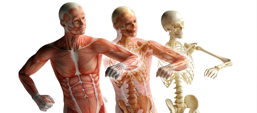 human skeletal and muscular images