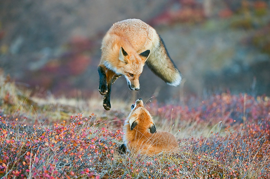 Two Foxes in the wilderness